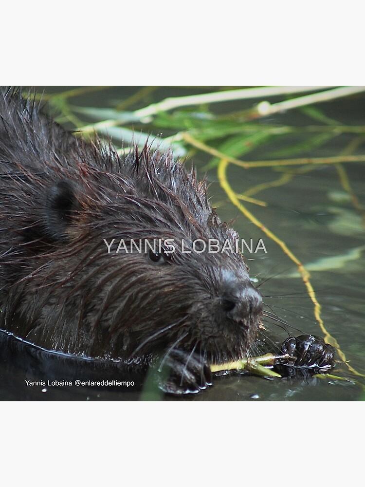 The hungry beaver By Yannis Lobaina by lobaina1979