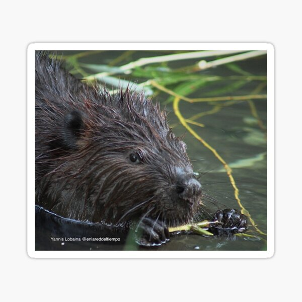 The hungry beaver By Yannis Lobaina Sticker