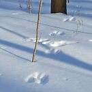 Deer Tracks by mwfoster