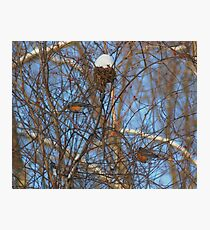 Winter Robins Photographic Print