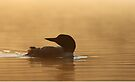 Common loon in morning light by Jim Cumming