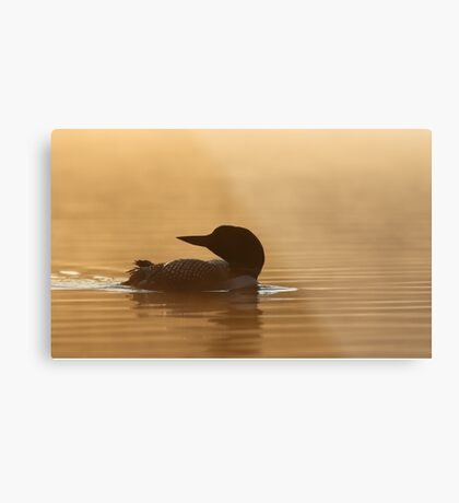 Common loon in morning light Metal Print