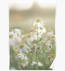 Scentless Mayweed Flowers Poster