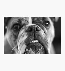oh bulldogs, you make me smile. Photographic Print