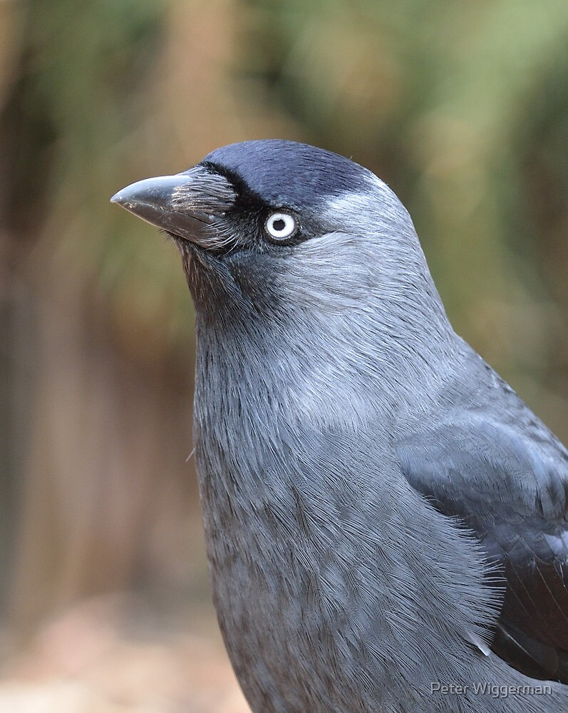 Jackdaw by Peter Wiggerman