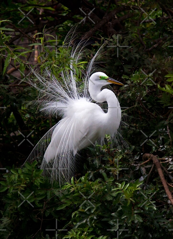 On Display - Great Egret by Jim Cumming