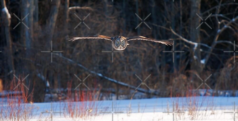 Great Grey Owl In flight  by Jim Cumming