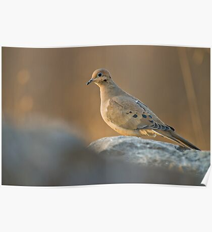 Mourning Dove On Rock Poster
