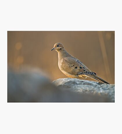 Mourning Dove On Rock Photographic Print
