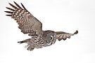 In Flight - Great Grey Owl by Jim Cumming