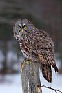 Piss Off! - Great Grey Owl by Jim Cumming
