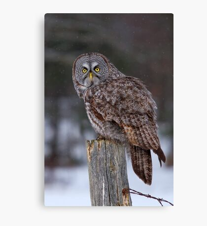 Piss Off! - Great Grey Owl Canvas Print
