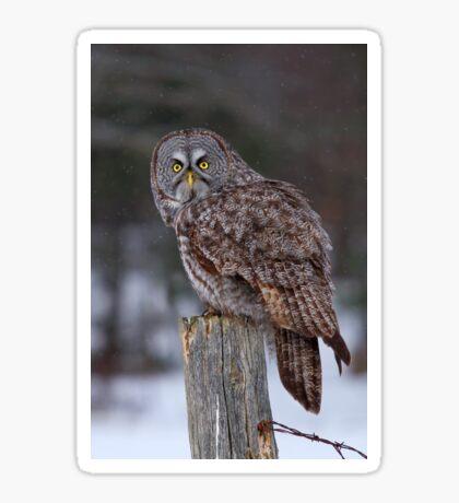 Piss Off! - Great Grey Owl Sticker