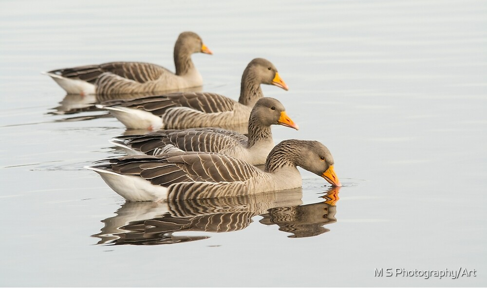 Greylag Geese by M S Photography/Art