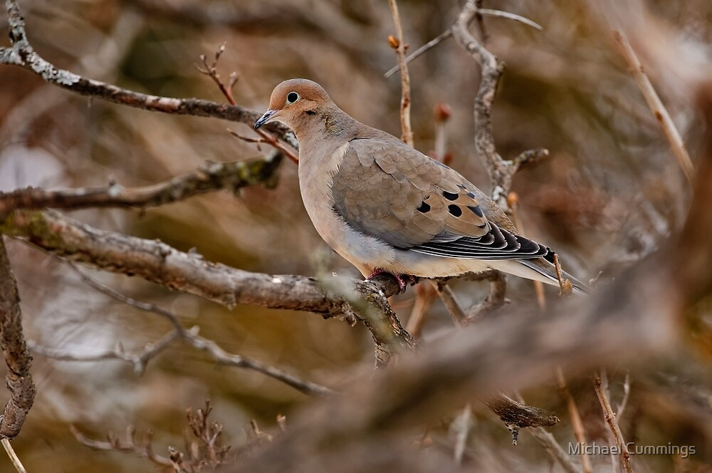 Mourning Dove - Ottawa Ontario by Michael Cummings