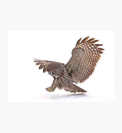 Once a pounce a time - Great Grey Owl Photographic Print