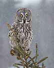 Pine Top - Great Grey Owl by Jim Cumming