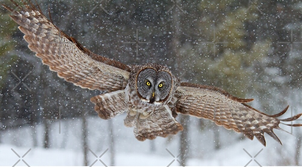 Duck! - Great Grey Owl by Jim Cumming