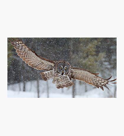 Duck! - Great Grey Owl Photographic Print