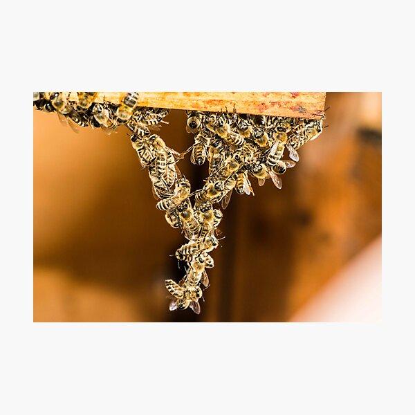 Bee Acrobats Photographic Print