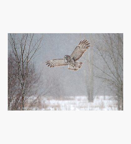 Towards the Heavens - Great Grey Owl Photographic Print