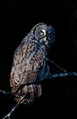 Spotlit - Great Grey Owl by Jim Cumming
