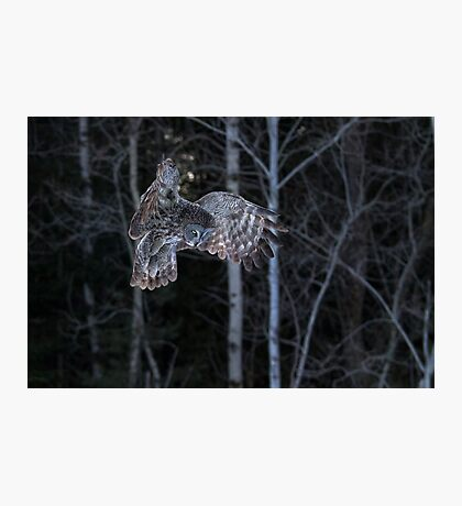 Hover - Great Grey Owl Photographic Print