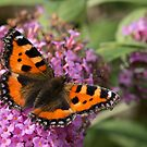 Small Tortoiseshell Butterfly by John Hooton
