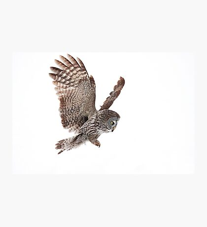 Incoming - Great Grey Owl Photographic Print