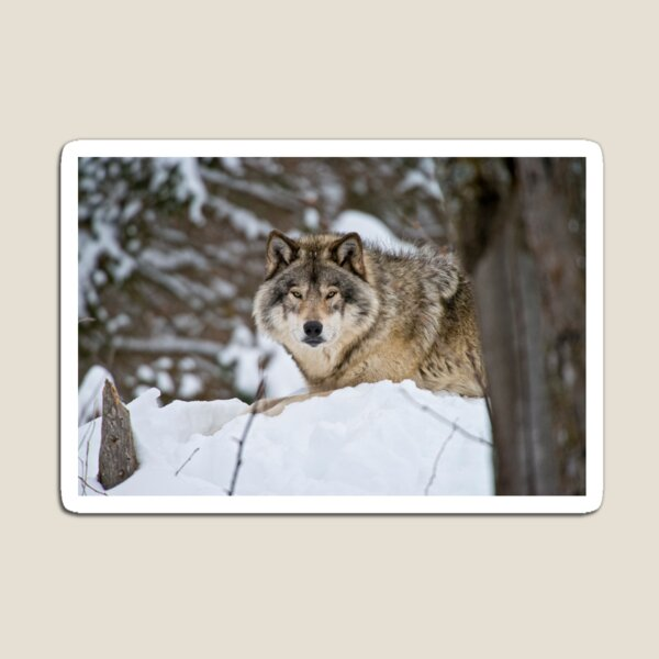 Timber Wolf Magnet