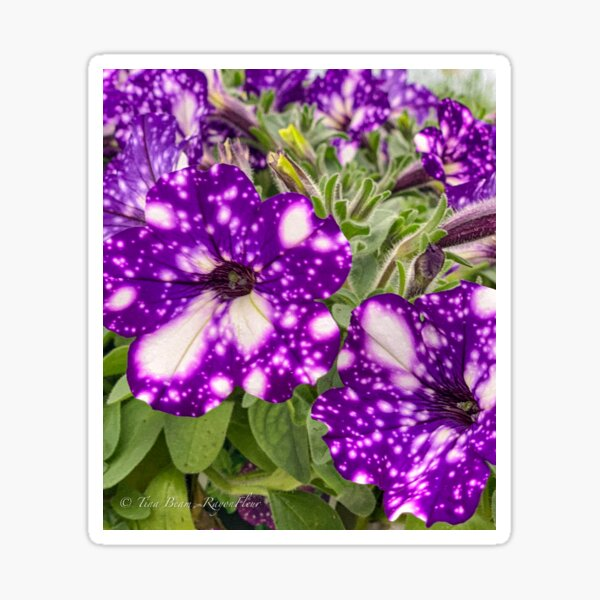 Purple tye petunia  Sticker