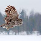 Flyby - Great Grey Owl by Jim Cumming
