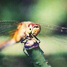 Dragonfly close-up by Tamara Brandy