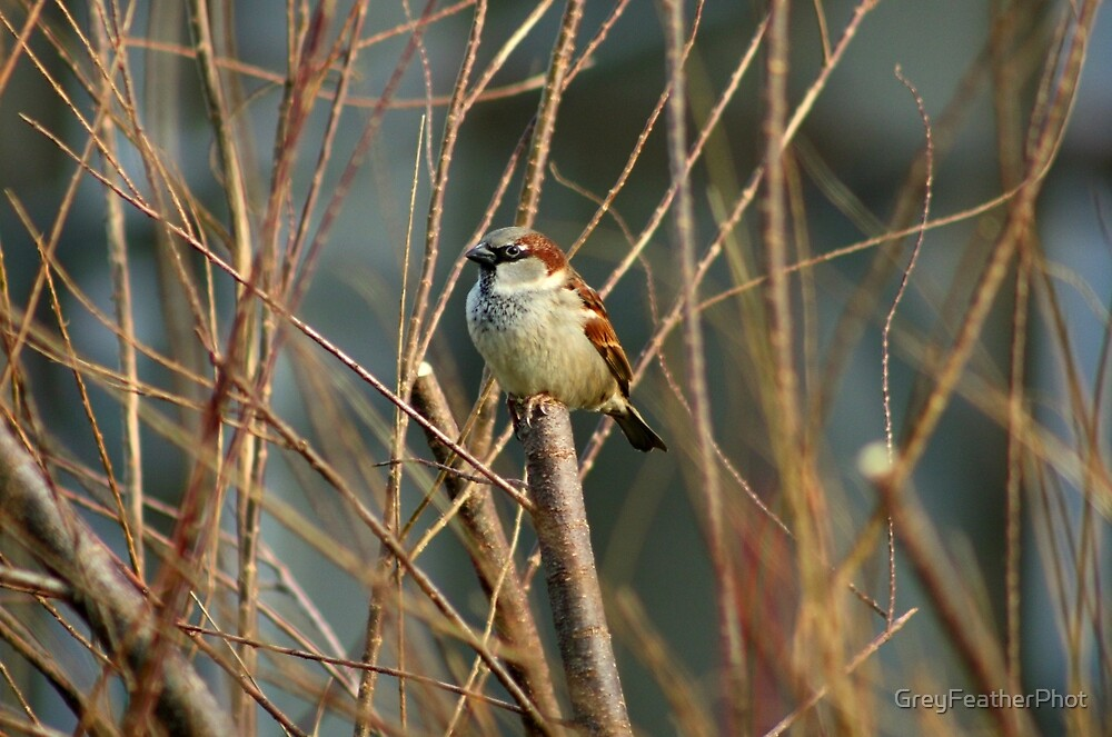 Perching Sparrow by GreyFeatherPhot