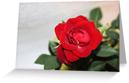 The Perfect Rose by aprilann