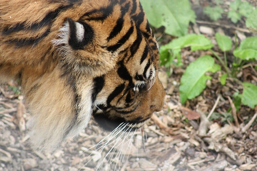 Tiger at Dudley Zoo by JEmerald