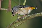 "Spotted Pardalote ( Female) ~ ""The home maker"" by Robert Elliott"