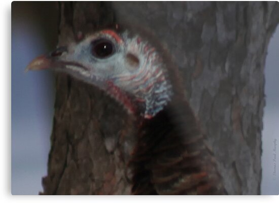 Portrait of a Wisconsin Wild Turkey by Thomas Murphy