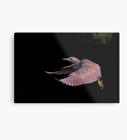 Juvenile Black-crowned Night Heron Metal Print