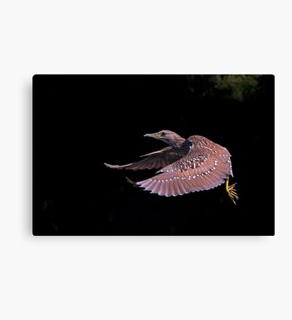 Juvenile Black-crowned Night Heron Canvas Print