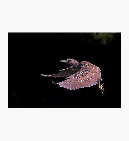 Juvenile Black-crowned Night Heron Photographic Print