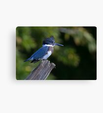 Belted Kingfisher - female (Ceryle alcyon) Canvas Print