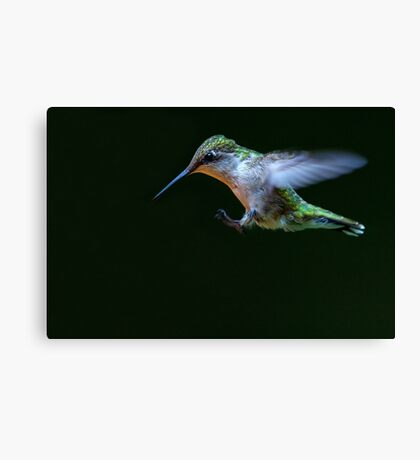 Incoming - Ruby-throated hummingbird Canvas Print