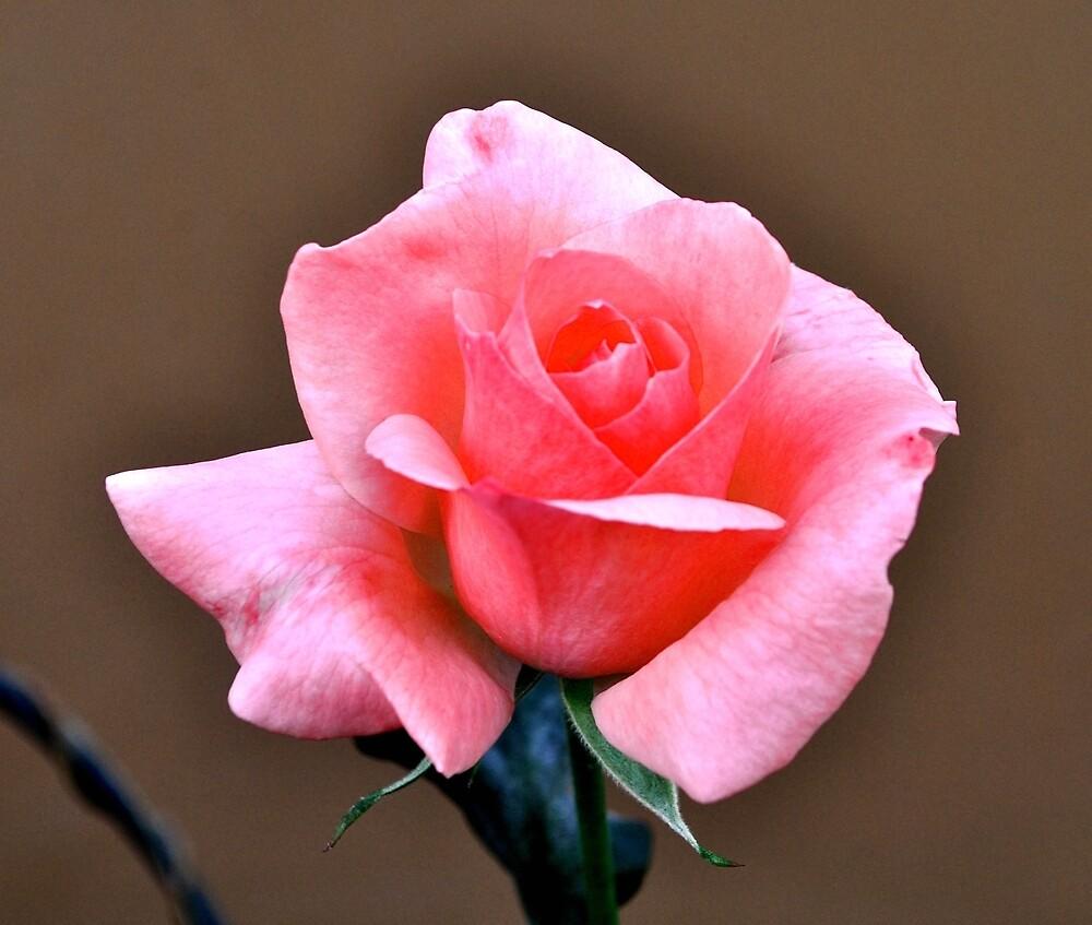 SIMPLE ELEGANT PINK ROSE by JAYMILO