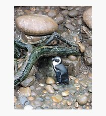The Penguins Home Photographic Print