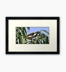 Young Blue-faced Framed Print