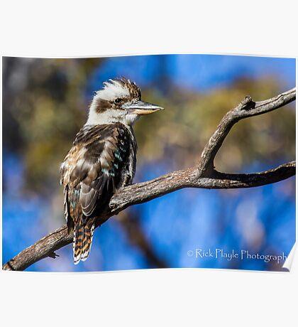 Young Kookaburra Poster