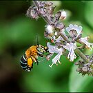 Blue Banded Native Bee by Helenvandy
