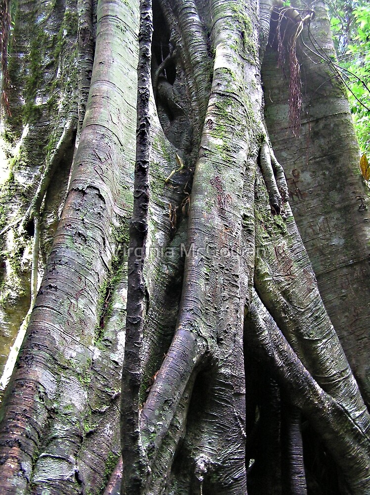 A Grown up Strangler fig by Virginia McGowan