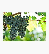 Ripe red wine grapes  Photographic Print